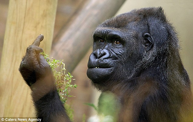 Gorila grosero no quiere foto