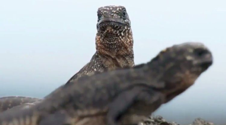 iguana-ataque-serpientes