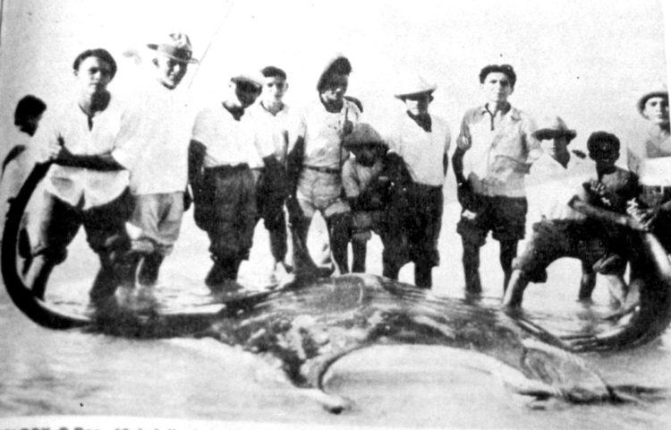 Mantaraya gigante en Quintana Roo